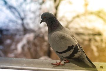 pigeon on window