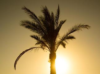 Palm in Sharm El-Sheikh, Egypt on sunset background