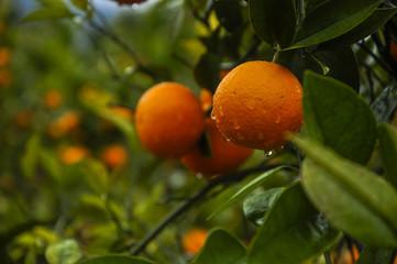 Orange fruit closeup in autumn