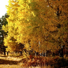 Central Oregon aspen grove turned gold in fall