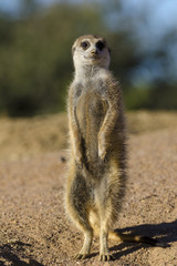 Meerkat or suricate (Suricata suricatta). Kalahari. Northern Cape. South Africa.