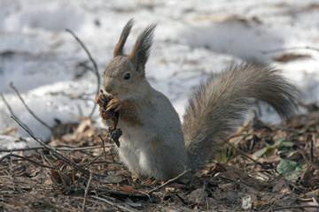 Eating squirrel sitting on the snow. Eurasian red squirrel (Sciurus vulgaris).