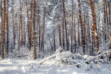 Winter bright air white frozen pine trees forest taiga in snow Altai Mountains, Siberia, Russia