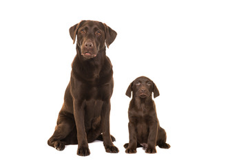 Female chocolate brown labrador retriever dog and puppy sitting isolated on a white background