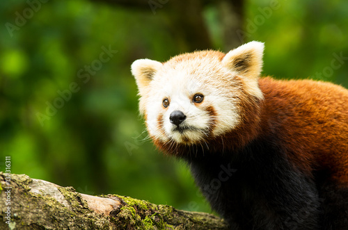 roter panda stockfotos und lizenzfreie bilder auf bild 137316311. Black Bedroom Furniture Sets. Home Design Ideas
