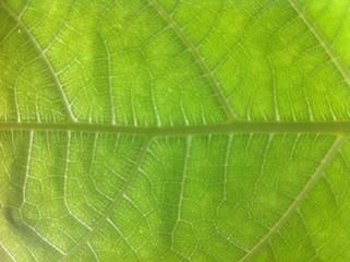 Green Leaf For Background