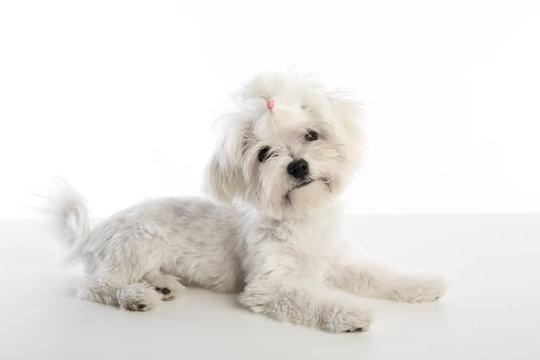 Maltichon puppy Bichon Maltese on white