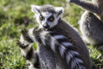 Funny animal surprised expression from a shocked ring-tailed lemur. Great humorous meme image.