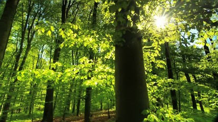 Wall Mural - Beautiful sun rays fall through fresh green foliage in a beech forest