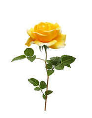 Beautiful yellow painted rose with leaves