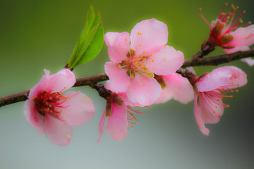Blurred Background of Blooming pink plum blossom in natural garden.