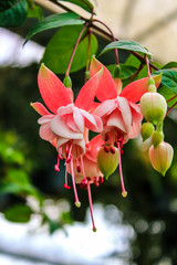 Close up pink Fuchsia Flowers in natural garden.