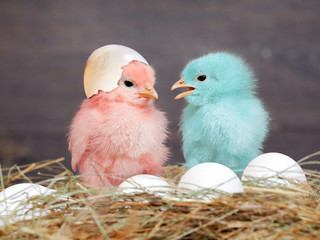 Chickens colored babies. Pink and blue Chicks communicate with each other. Hay, white eggs. Shell
