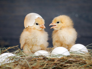 Newborn Chicks. Orange Chicks communicate with each other. Hay, white eggs. Shell