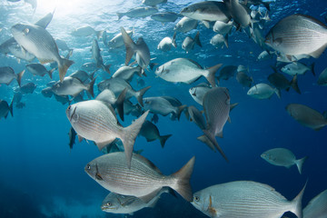 School of Rudderfish in Caribbean Sea