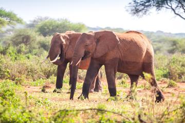 Elephants on savanna, Kenya