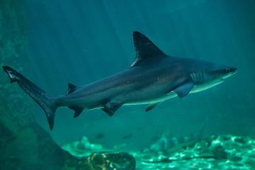 Sandbar shark (Carcharhinus plumbeus).