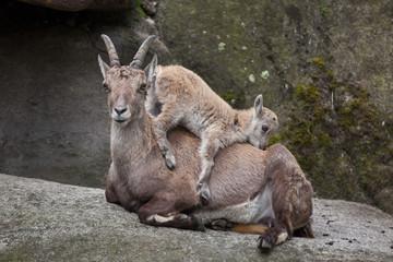 Alpine ibex (Capra ibex ibex).