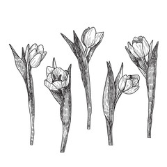 Hand drawn decorative tulips isolated on white. Hand drawn illustration. Ink drawing flowers. Contour pencil drawing. Hand drawn sketch. Drawn sketch of flowers. Flowers doodles.