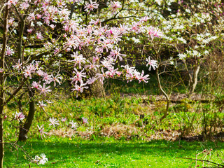 Spring garden with Magnolia trees pink flowers