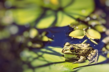Green Frog in a wetland