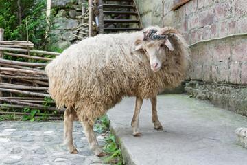 Monastery sheep posing