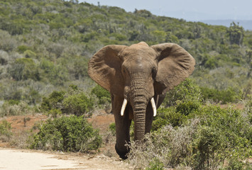 Poster Olifant Large African elephant walking out of thick bush