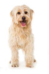 Stehender Mischlingshund