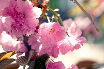 Flowering cherry in the spring of Kiev