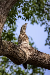 Rare Great potoo hardly to differ of the tree trunk, perfect camouflage, Pantanal, Brazil