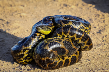 Close up of young Yellow anaconda laying on the ground, Pantanal, Brazil
