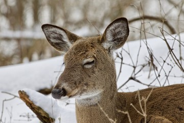 Beautiful image of a sleepy wild deer in the snowy forest
