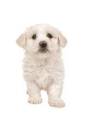 Cute white standing maltese puppy isolated on a white background seen from the front