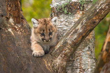 Female Cougar Kitten (Puma concolor) Paw Out in Tree