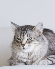 adorable cats, silver version of siberian breed on a white sofa