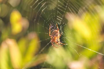 Orb Weaver Spider on Web