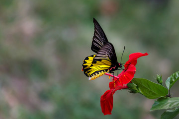 Yellow butterfly sitting on red flower