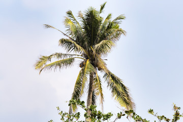 Palm tree in Hainan Island - China