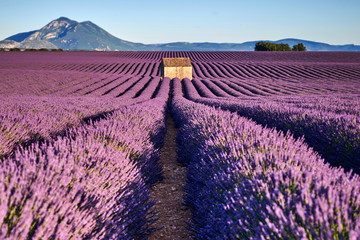 Fotobehang Lavendel fields of lavender in Provence