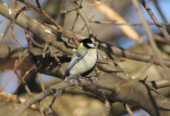 cute fluffy great tit (Parus major) sitting on the twig