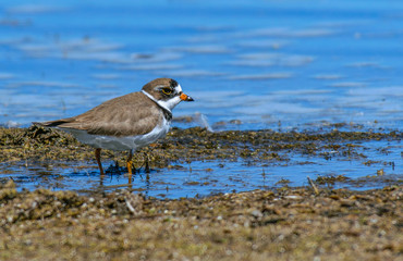 Semipalmated Plover Foraging for Food