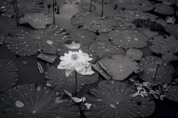 Black-and-white lotus flower photo