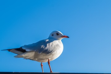 seagull in blue sky