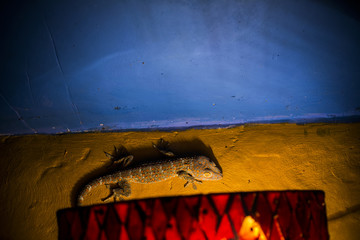 Gecko Tokay climbing a wall at night in Bali (Gekko gecko)