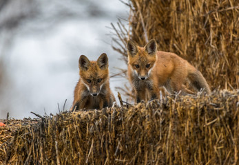 Red Fox Kits Looking Determined