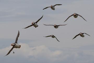 Puffins, Farne Islands