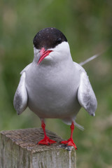 Common Tern, Farne Islands