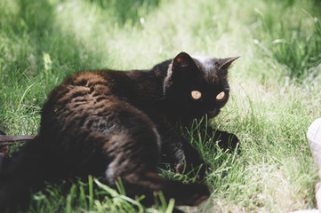 cute little black cat lying and playing on the green grass