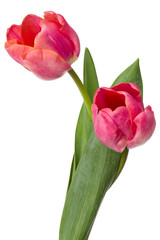 two pink tulip flowers isolated on white background