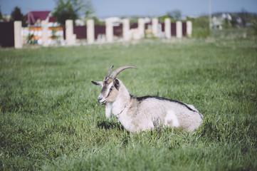 Adorable cute farm goat lying on a green farm pastures